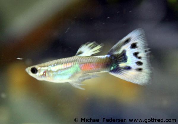 Guppy - Poecilia reticulata