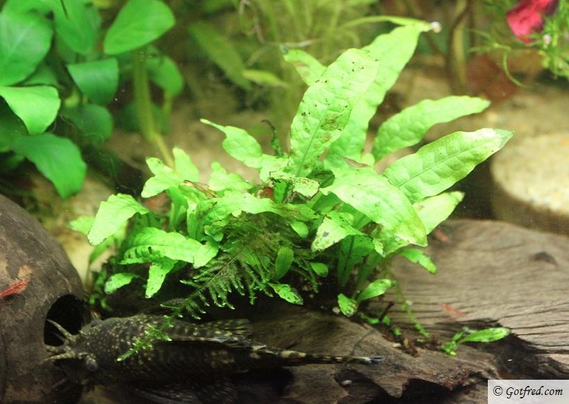 Echinodorus bleheri Tropica Javabregne
