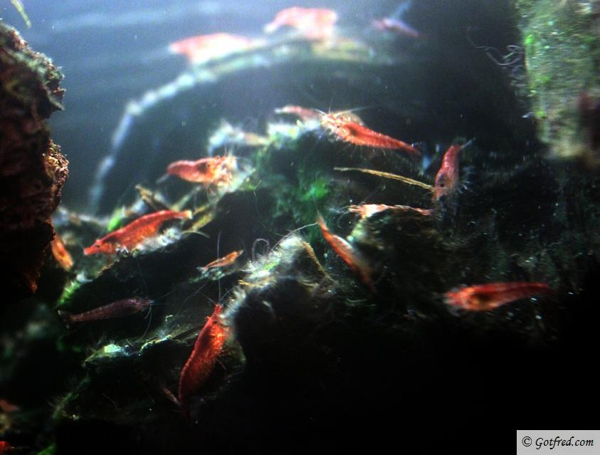 RCS reje - Red Cherry Shrimp - Neocaridina heteropoda