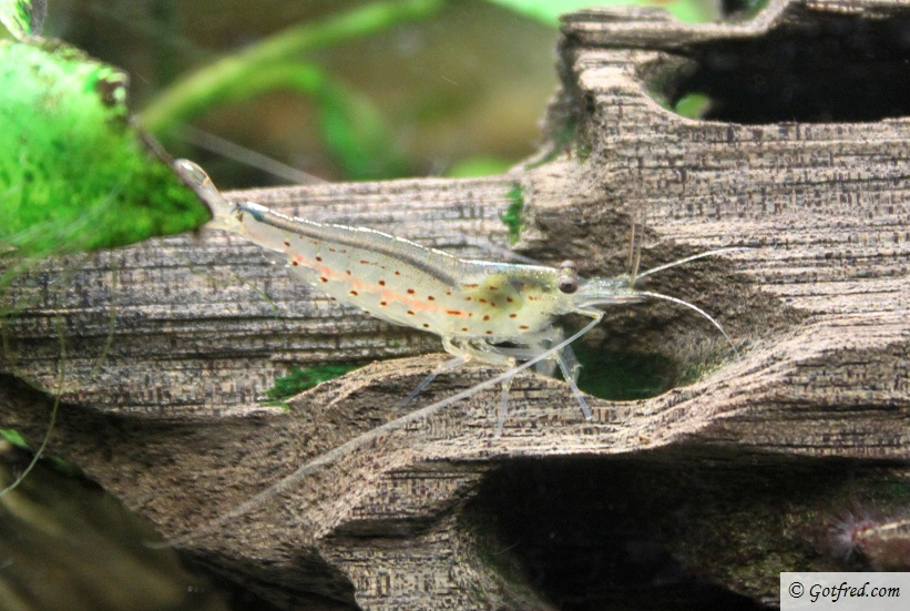 Amano reje - Takashi Amano Shrimp - Caridina japonica
