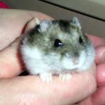 Billede hamsterb